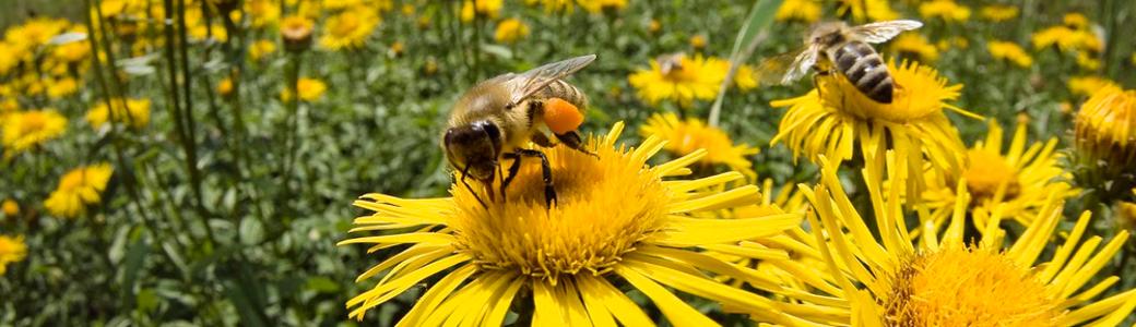 bee-and-daisy-1040x300